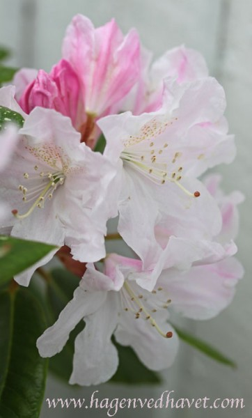 Rhododendron 'Redwood'