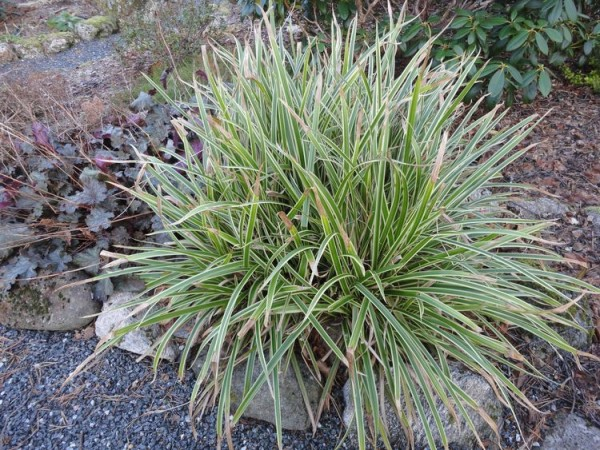 Carex morrovi 'Ice Dance'